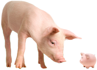 image of pig looking at piggy bank